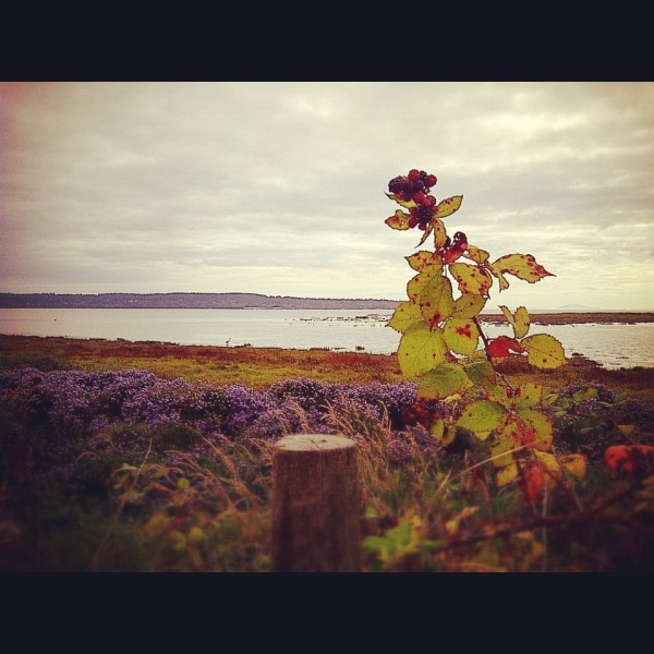 Blackberries at Mud Bay