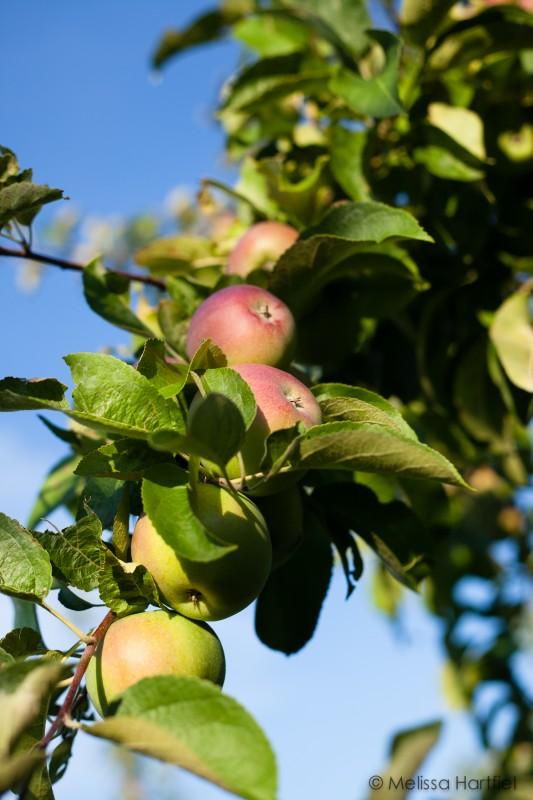 Okanagan Macintosh apples on the tree