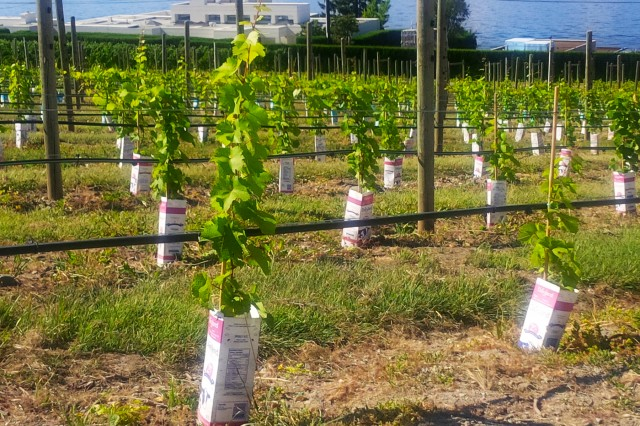 Vines in milk cartons