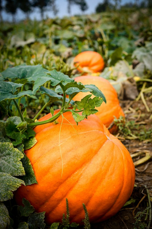 pumpkins all in a row