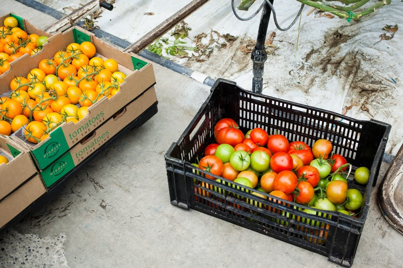 Tomatoes, Cucumbers and Peppers, Oh My: A Tour of Windset Farms